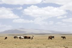 A herd of horses at Song Kul Lake. A herd of horses in the steppe near Song Kul Lake in Kyrgyzstan Royalty Free Stock Photo