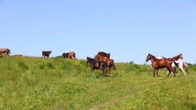 Herd of horses in summer stock video footage