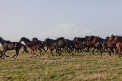 Herd of horses Royalty Free Stock Photo