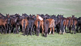 Herd of horses stock footage