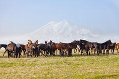 Herd of horses on a summer pasture Royalty Free Stock Images