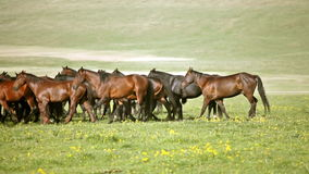 Herd of horses on a summer pasture. Royalty Free Stock Image