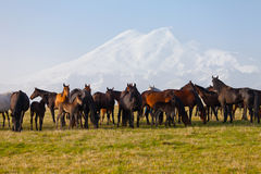 Herd of horses on a summer pasture Stock Photography