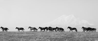 Herd of horses on a summer pasture Royalty Free Stock Photography