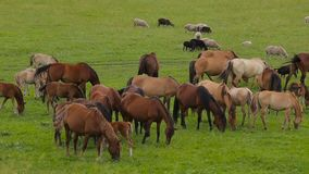 A herd of horses on a summer pasture. A herd of sheep on a green meadow. stock video footage