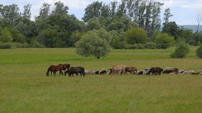 A herd of horses on a summer pasture. A herd of sheep on a green meadow. stock footage