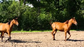 Herd of horses in summer stock video footage
