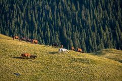Herd of horses at sunset Royalty Free Stock Photos