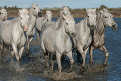 Herd of horses. Traveling through the marshes of the Camargue in southern France royalty free stock photography