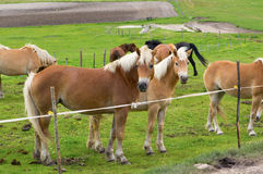 Herd of horses of various colors mountains Stock Images