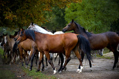 Herd of horses on the village road Stock Photo