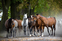 Herd of horses on the village road Stock Photography