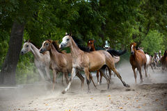 Herd of horses on the village road Stock Images