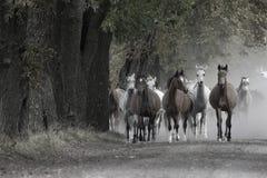 Herd of horses on the village road. Herd of horses on the village dust road stock photo