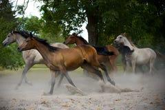 Herd of horses on the village road. Herd of horses on the village dust road stock photography
