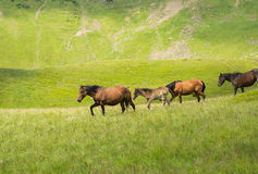 Herd of horses walking along a mountain meadow Stock Image