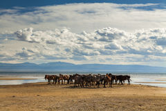 Herd of horses on a watering place. On the background of the cloudy sky Royalty Free Stock Photo