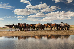 Herd of horses on a watering place. On the background of the cloudy sky Stock Photos