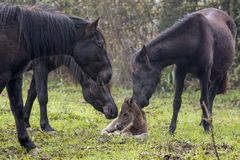 Herd of horses welcoming a newborn foal stock images