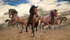 Herd of horses. Wild herd of horses galloping Royalty Free Stock Image