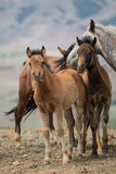 Herd of horses with young foals Royalty Free Stock Images