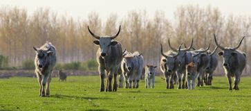 Herd of Hungarian Grey cattle cows with long dangerous horn. Hungarian Grey cattle cows with long dangerous horn on meadow Stock Photography