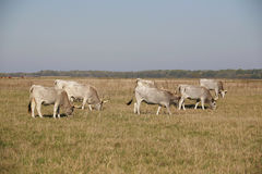 Herd of  hungarian grey steppe cattle grazing on meadow Royalty Free Stock Photo
