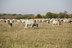 Herd of  hungarian grey steppe cattle grazing on meadow Royalty Free Stock Photos
