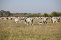 Herd of  hungarian grey steppe cattle grazing on meadow Stock Images