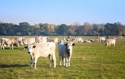 Herd of hungarian grey steppe cattle grazing on meadow. Hortobagy. Herd of hungarian grey steppe cattle grazing on meadow Royalty Free Stock Image