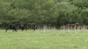 Herd Of Hurrying Horse On The Field stock video