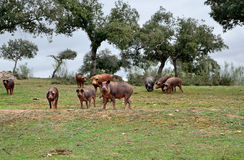 Herd of Iberian pigs eating acorns Stock Photography