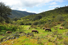 Herd of Iberian pigs in the mount, Spain. The Iberian pig, whose best known product is the ham of quality feeds on acorns in herds in the central and southern stock image