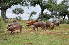 Herd of Iberian pigs and oaks Stock Images