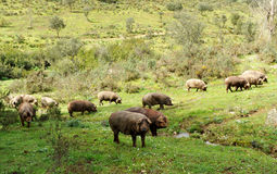 Herd of Iberian pigs in the pasture, Spain. The Iberian pig, whose best known product is the ham of quality feeds on acorns in herds in the central and southern royalty free stock image