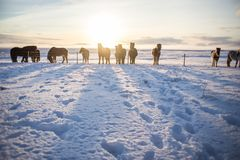 A herd of icelandic brown horses in the sunrise sun. Cute Brown horses in a snowy field, blue sky background, soft sunrise, a group of ponies Stock Photos