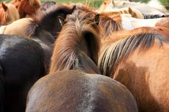 Herd of Icelandic horses Royalty Free Stock Photo