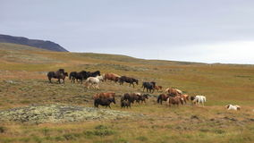 Herd of Icelandic horses stock video