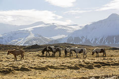 Herd of Icelandic horses in front of snowy mountains Royalty Free Stock Photo