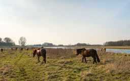 Herd of Icelandic horses grazing in a Dutch nature reserve Royalty Free Stock Photo