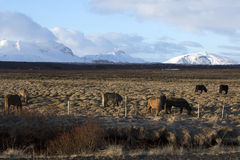Herd of Icelandic horses on a meadow in evening light Stock Photos