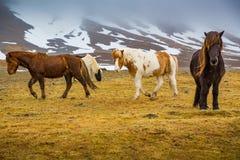 Herd of Icelandic horses near. Grundarfjordur, Iceland CR2. Herd of sturdy Icelandic horses near. Grundarfjordur, Iceland stock photography
