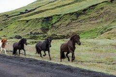 Herd of Icelandic horses running along the road Stock Photo