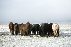 Herd of Icelandic horses after snow storm Stock Photography
