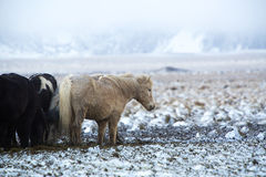 Herd of Icelandic horses after snow storm Stock Photo
