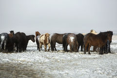 Herd of Icelandic horses after snow storm Stock Images