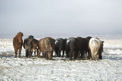 Herd of Icelandic horses after snow storm Royalty Free Stock Photos