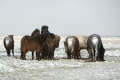 Herd of Icelandic horses after snow storm Stock Photos