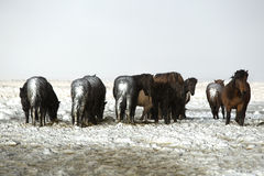 Herd of Icelandic horses after snow storm Stock Image