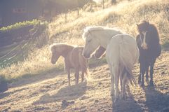 Herd of icelandic horses in sunlight standing on grassland. Herd of icelandic horses standing on grassland, relaxing in evening sunlight stock images